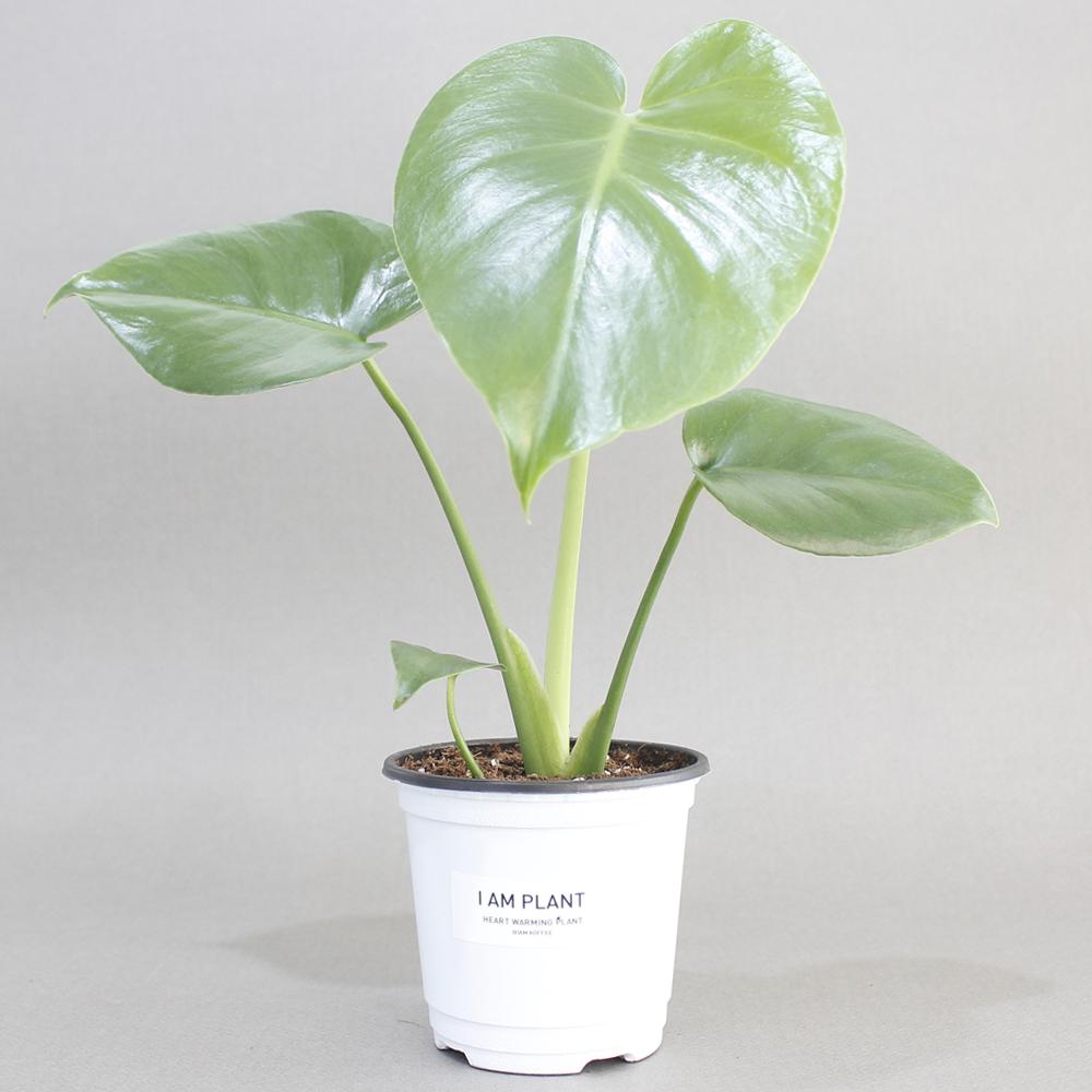 아이엠플랜트 화이트포트 실내공기정화식물 모종, 1개, 14.몬스테라