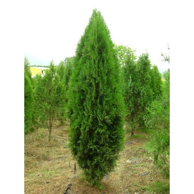 측백나무(조선측백) 키 150cm 특가판매!!, 1