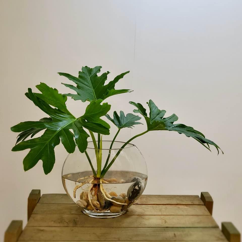 *쟈스민 식물* 호프셀렘 수경재배 set