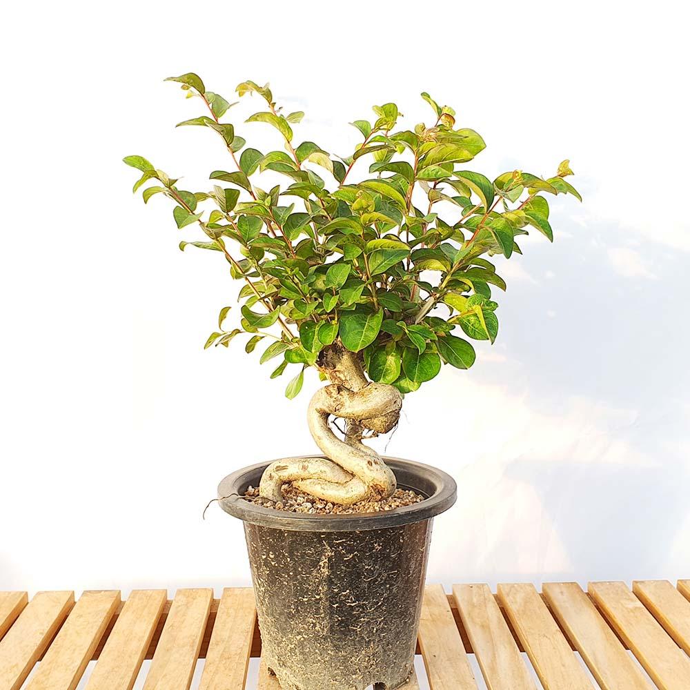그린피아약초 배롱나무 목 백일홍 근상 중형 묘목 분재 베란다 책상 화분