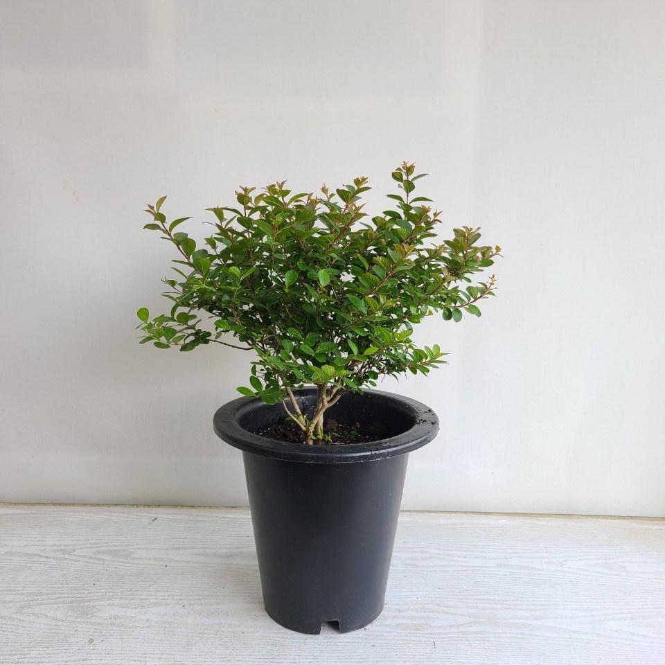 온누리농원 좀백일홍 공기정화식물 반려식물