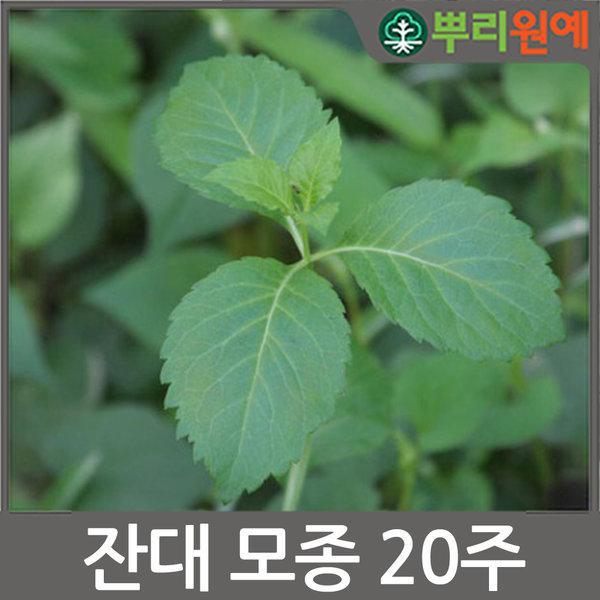 WJ 잔대모종 20주 사삼모종 딱주모종 뿌리원예