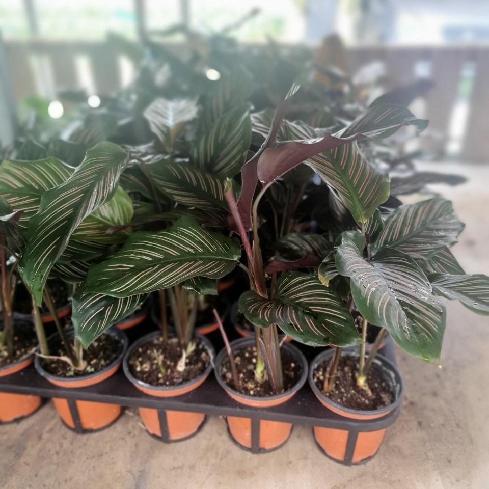 공룡꽃식물원(주) 원플원 2개 칼라데아 진저 진자 15~30cm 69 공기정화식물