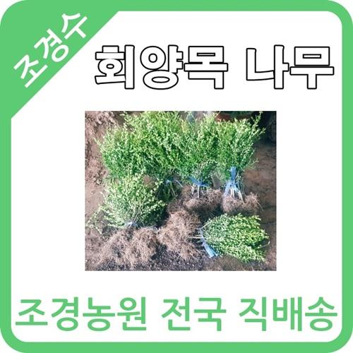 대한조경농원 회양목 (H0.3 W0.3)(10주묶음)
