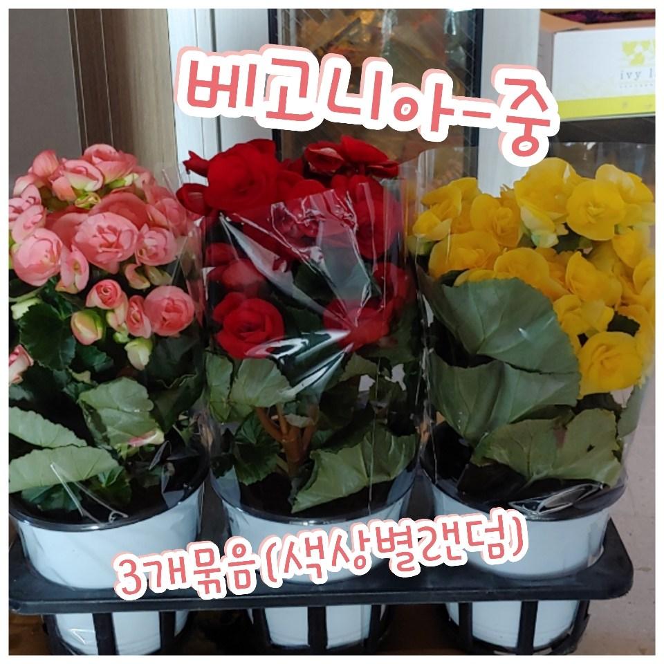 꽃나라엘리스 베고니아(중)-3종묶음판매-꽃잎이 비대칭이고 짝짝이라 짝사랑이라는 꽃말