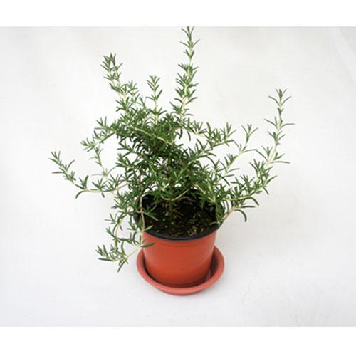 그린플랜트 공기정화식물 클리핑로즈마리 1+1