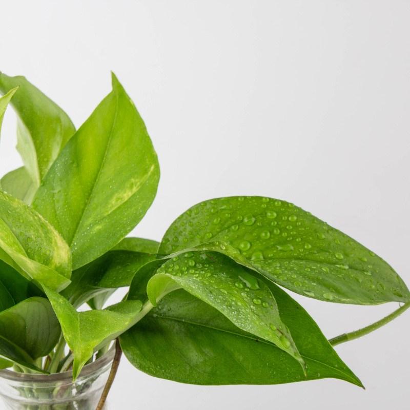 나루플랜트 수경재배식물 건강한 21종 식물 모음, 2.스킨답서스