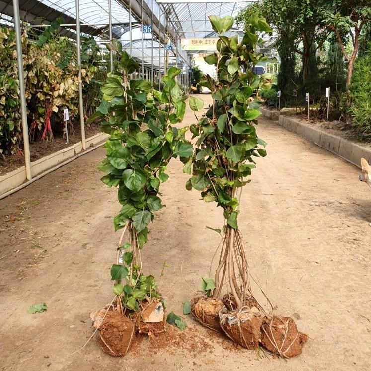 [꽃나무] 라일락 120cm 묘목(분)