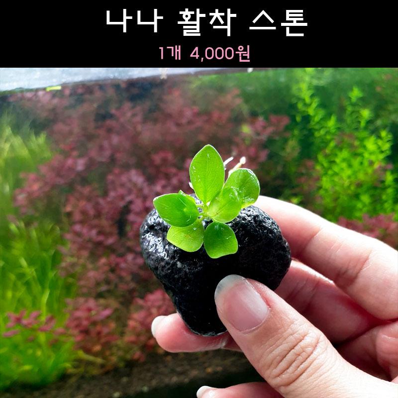 [수초아쿠아] 나나 활착 스톤 초보수초 인기수초 구피 새우 은신처 어항수초 수초맛집 득템수초 활착 음성수초