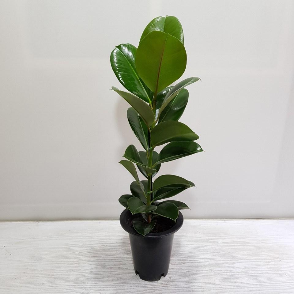 온누리농원 인도고무나무 외목대 공기정화식물, 고무나무-10, 1개