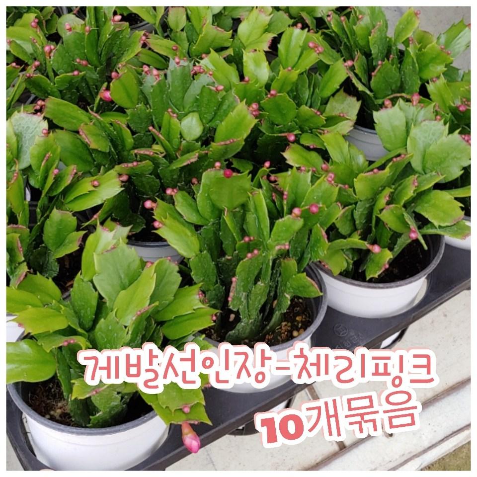 꽃나라엘리스 게발선인장(체리핑크)-10묶음-겨울에 꽃을 피우기에 크리스마스선인장
