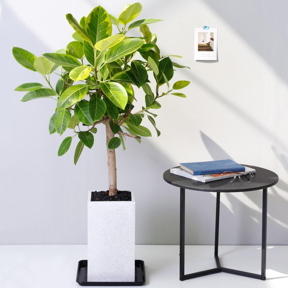 아침향기 공기정화식물 대형화분 FRP 화기 화분 뱅갈고무나무, FRP 화이트 뱅갈, 1개