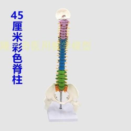 45CM 채색 인체척추모형 골반주골미골척주 골격골조모델, 01 45CM 컬러 척추 (POP 4870756083)