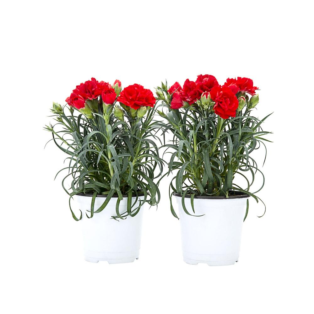 1+1 카네이션꽃 모종 생화 화분 어버이날 스승의날 감사선물, 1+1 카네이션