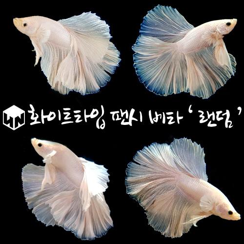 하나아쿠아 all 화이트 선별하프문베타, 1마리