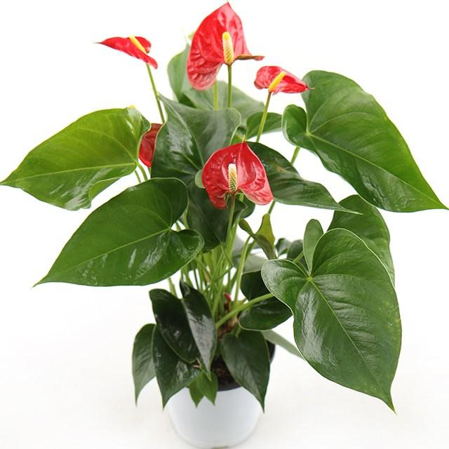 갑조네 안스리움 소품 공기정화식물 꽃있는식물 꽃화분