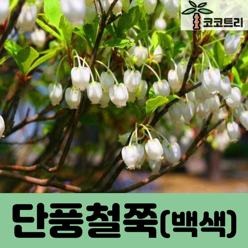 [코코트리] [꽃나무] 단풍철쭉 묘목, 1개, 단풍철쭉(백색) 삽목2년