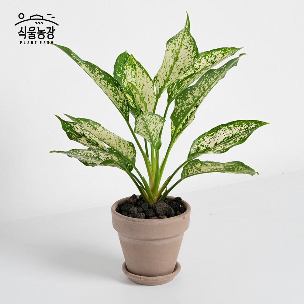 식물농장 아글라오네마 스노우사파이어 미니화분 레옹 화분, 1개, 이태리토분+그라파이트(회갈색)