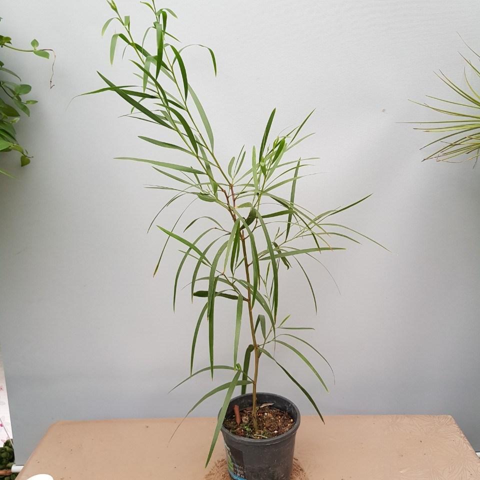 콩플라워 긴잎 아카시아 높이 약85
