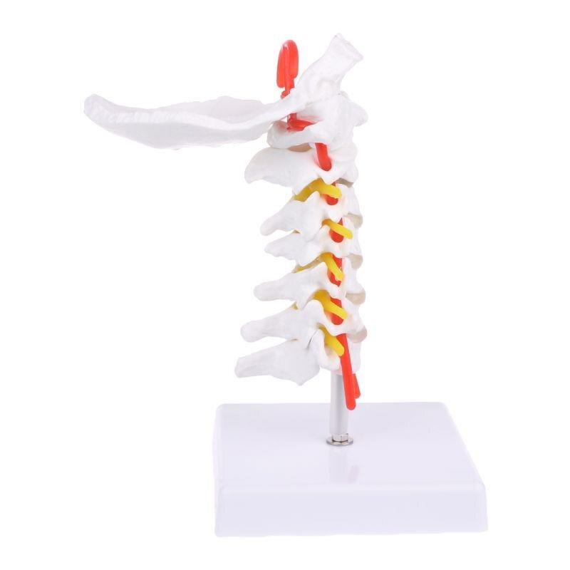 인간의 경추 동맥 척추 척추 신경 해부학 모델 보조 해부학 배우기 (POP 5759690958)
