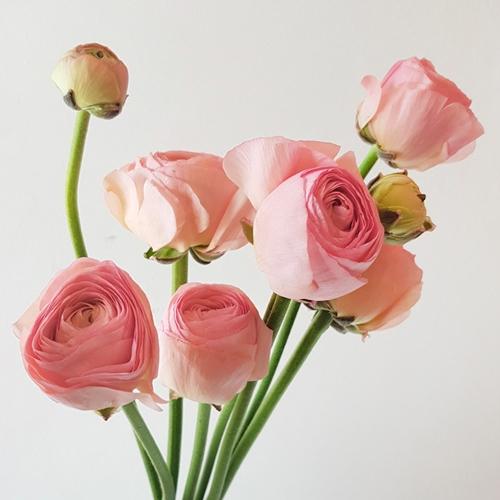 라튤립 생화택배 수국 리시안 장미 튤립 꽃다발, 루스커스 10대(비닐포장)