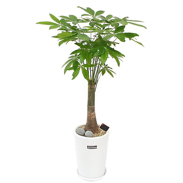 햇살농장 중대형 공기정화식물 인테리어 개업화분, 1개, 3.(대형)파키라