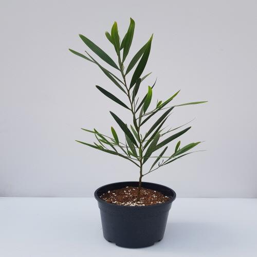 가꾸다 긴잎아카시아