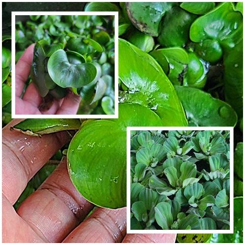 (부상수초) 물배추5뿌리부레옥잠5뿌리, 10뿌리