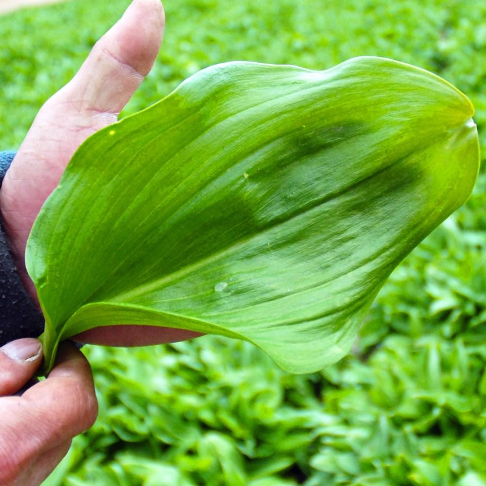 강원도 인제 봄나물 산마늘 명이나물 잎명이 1kg 예약배송, 명이나물 1kg(4월 16일 이후 순차배송)