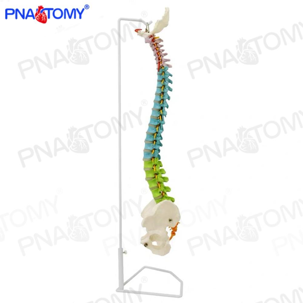 1:1 척추 모형 척추뼈 골반 골격 인체 해부학 해부 spinal 신경의학 교육 기자재, A개 (POP 5223904060)