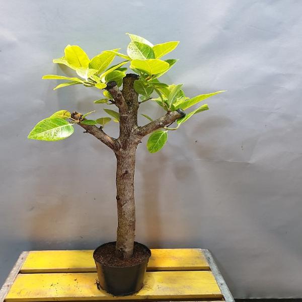 에덴농원 독특한뱅갈고무나무( 한목대) 목대수형 좋아요