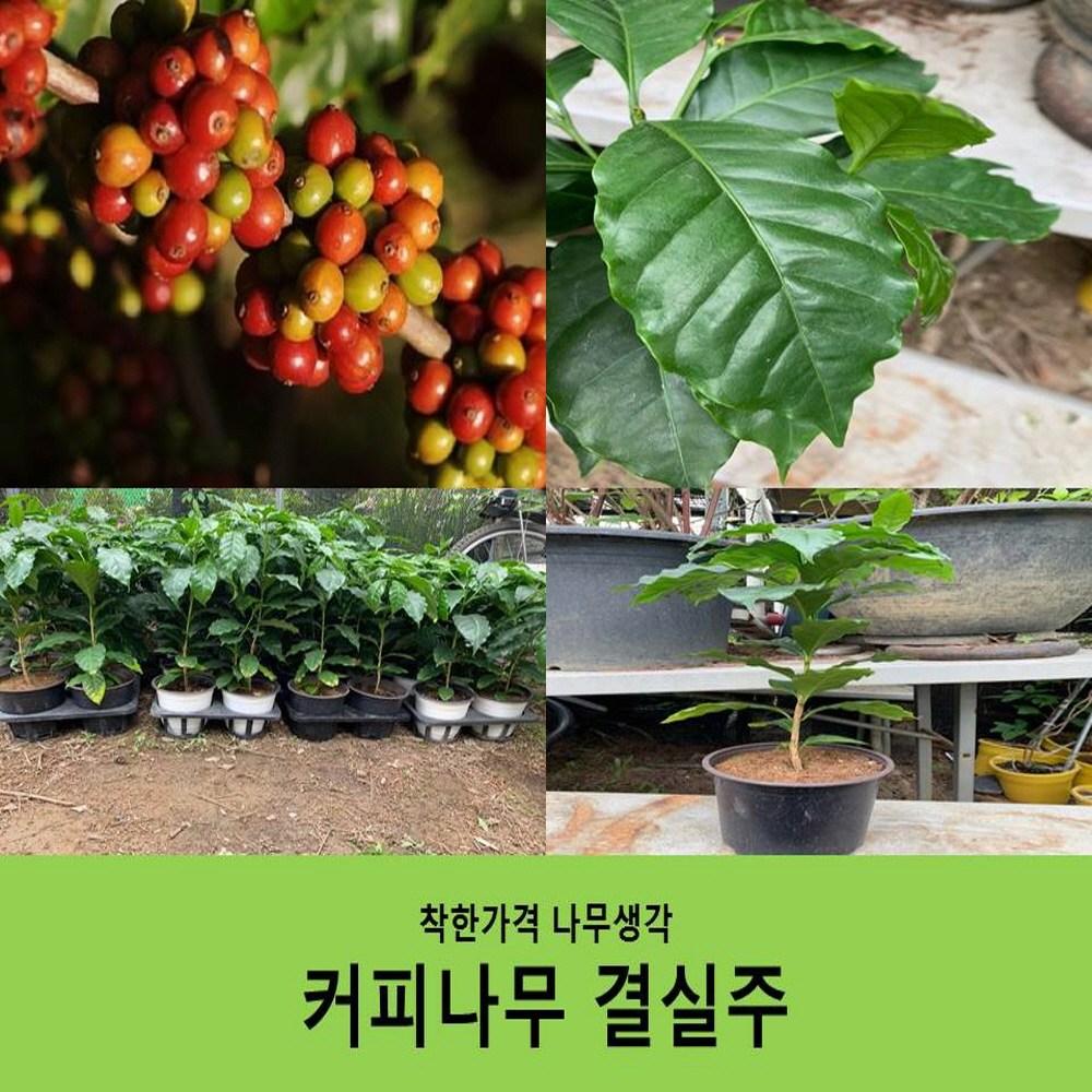 착한가격 나무생각 커피나무 결실주
