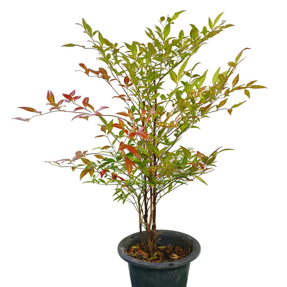나무 팜 [가을나무] 공기청정나무 남천나무 단풍 남천