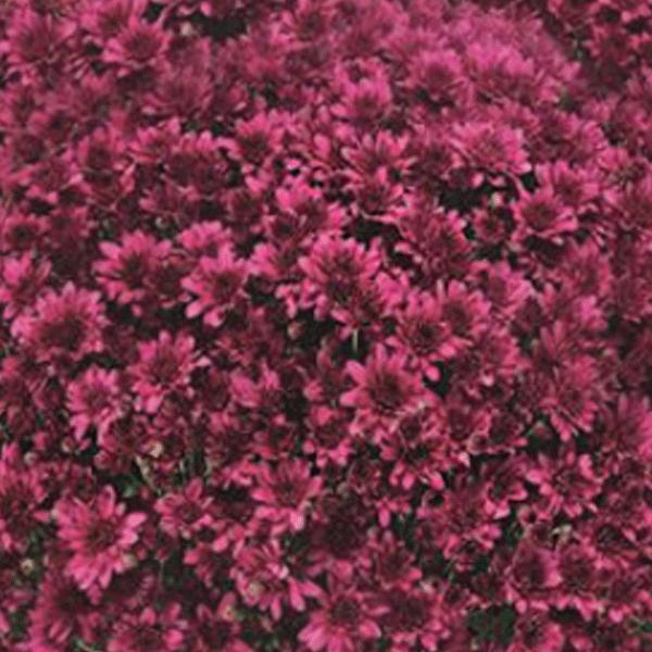 복남이네야생화 국화-가든멈 아를루노 모브 퍼플 [3포트] (10cm포트 가을 정원국화 모종)
