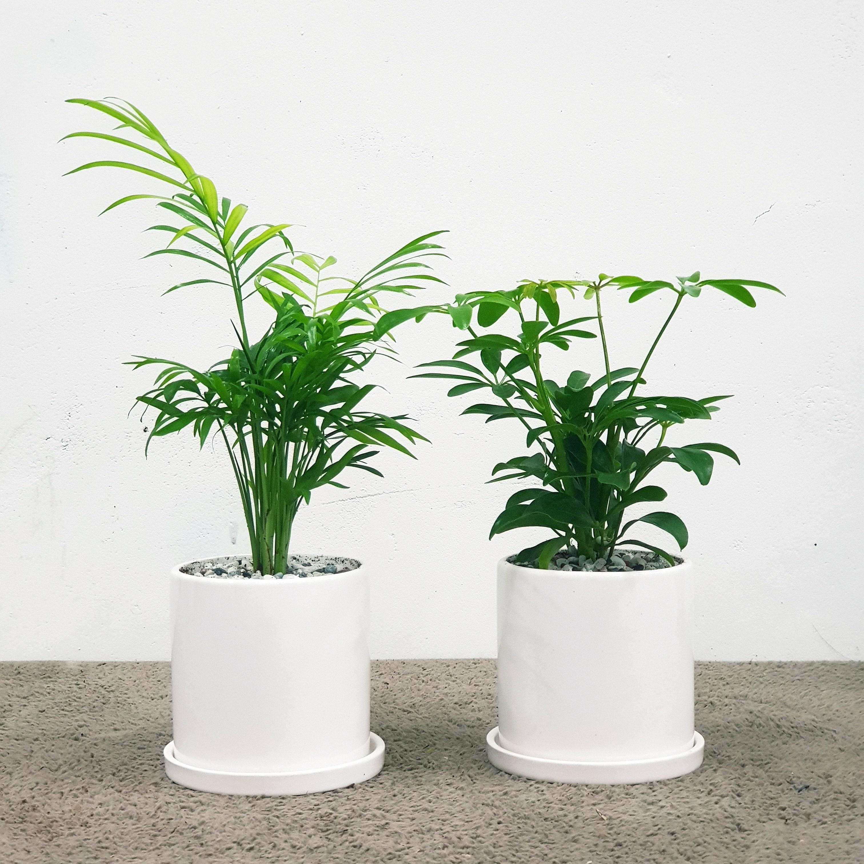 꽃피우는청년 천연가습기 실내공기정화식물 2종 세트 (테이블야자 홍콩야자), 유광 원형 화이트
