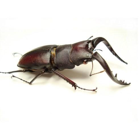 파브르 토종 톱 사슴벌레 성충 수컷 중형(58mm이하)
