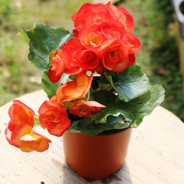 갑조네 꽃베고니아 공기정화식물 꽃있는 식물 봄꽃 실내공기정화, 색상랜덤