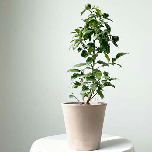 중대형 레몬나무 80cm 오렌지레몬트리 결실수 열매 키우기, 중대형 레몬나무 식물만(플라스틱포트)