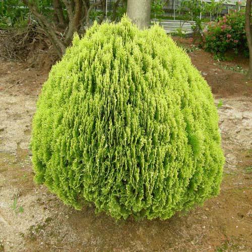 황금측백나무 키 60~70cm(분) 특가판매!!, 1