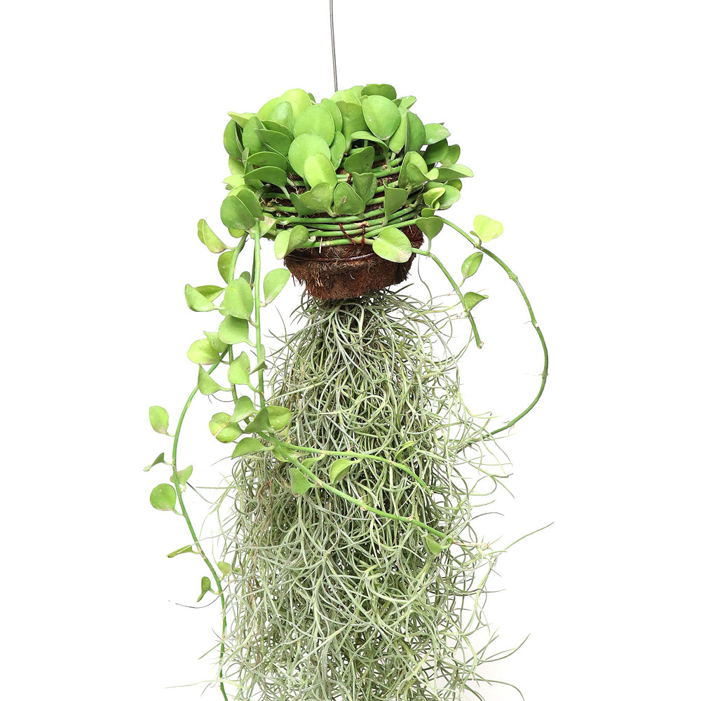 잎새몰 틸란드시아 디시다아 공중식물 행잉플랜트, 디시디아+수염틸란 1개
