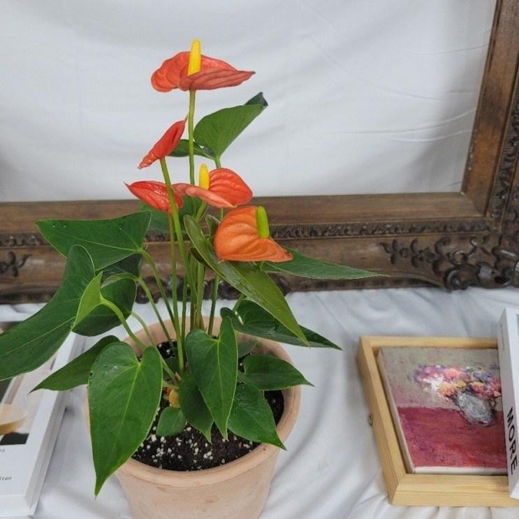 마라나타플라워 안시리움 3종 공기정화식물 플랜테리어, 오렌지