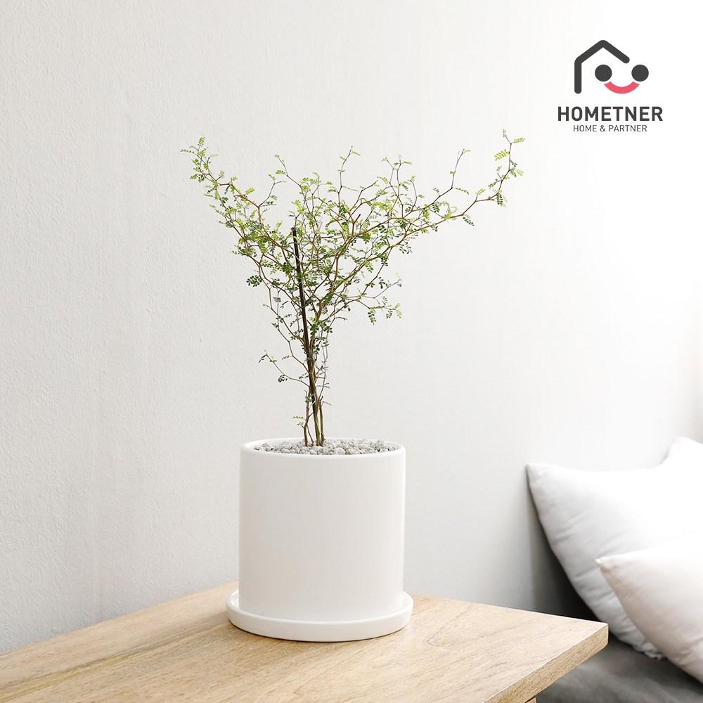 홈트너 실내공기정화식물 관엽 인테리어식물, 1Ea, 3_13 마오리소포라 중