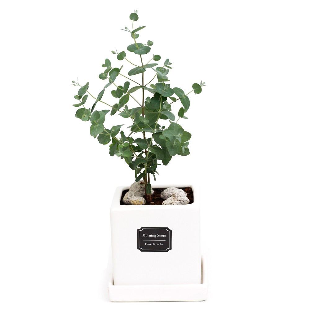 아침향기 공기정화식물 무광 사각 화분, 1개, 무광사각 화이트 유칼립투스