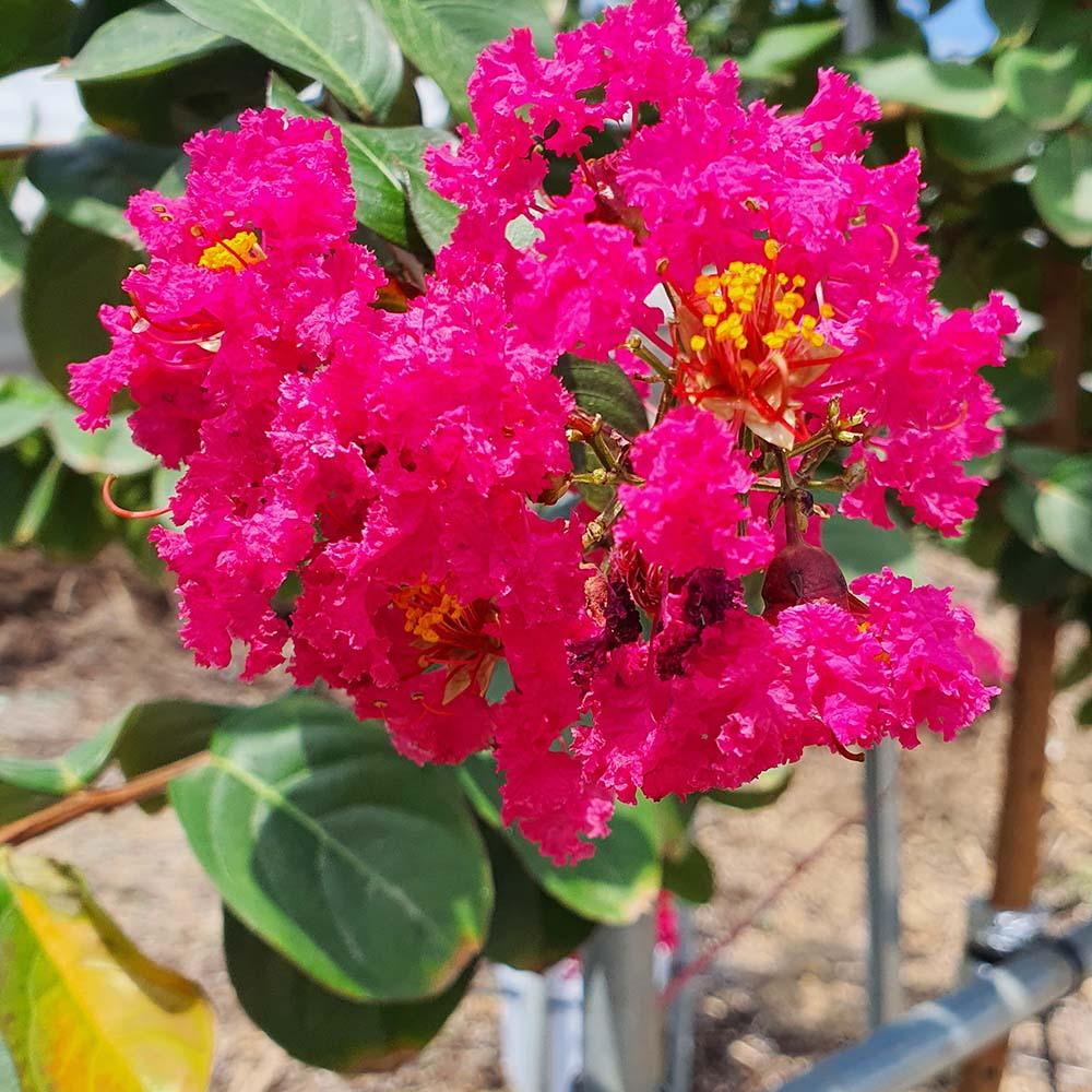 다이너마이트 배롱나무 붉은 꽃 목백일홍 묘목 화분 조경수 정원수