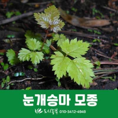 보람농자재 눈개승마모종/10주/삼나물모종/텃밭/모종