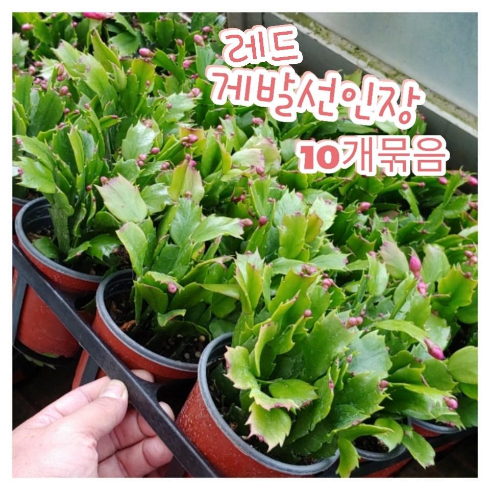 꽃나라엘리스 게발선인장(레드)-10개묶음-겨울에 꽃을 피우기에 크리스마스선인장