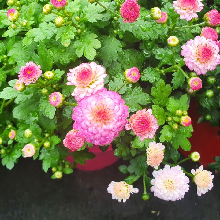소예방 국화 (중대품) 색상랜덤 색상마다 다른 꽃말을 가진 가을 식물인테리어