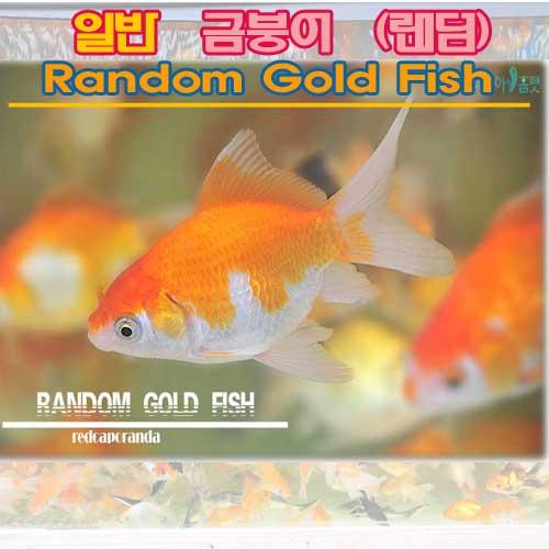 (주)가성아쿠아홈펫 가성아쿠아 랜덤 금붕어(골드피쉬) 쉬운물고기키우기 관상어, 3마리
