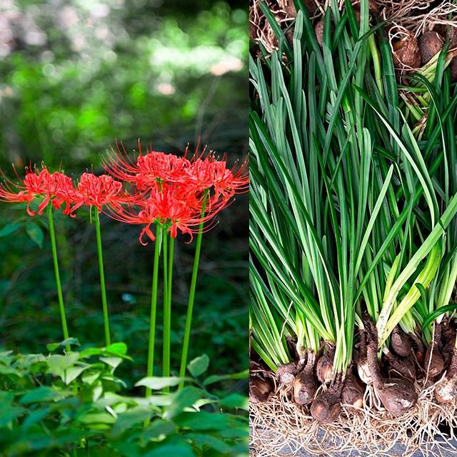 금산묘목나라 꽃무릇, 1개
