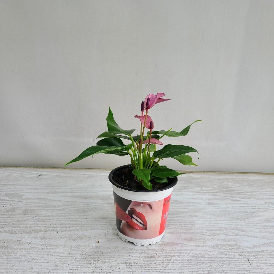 온누리농원 카라안시리움 보라 공기정화식물 반려식물
